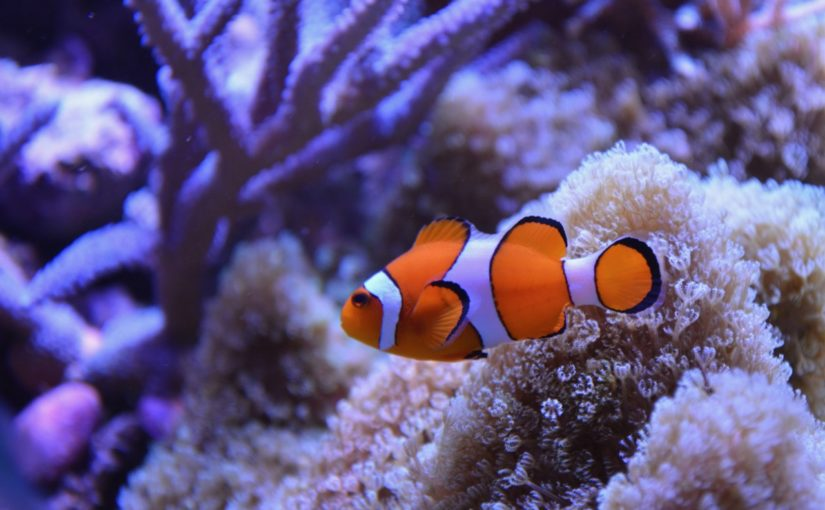 Les poissons clowns sont menacés d'extinction